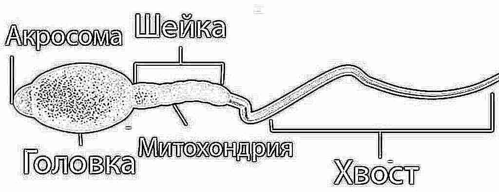 формы спермотозоидов по крюгеру