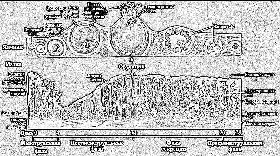 Когда формируется плацента у беременной 92