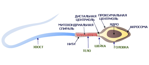 Функции строения сперматозоида