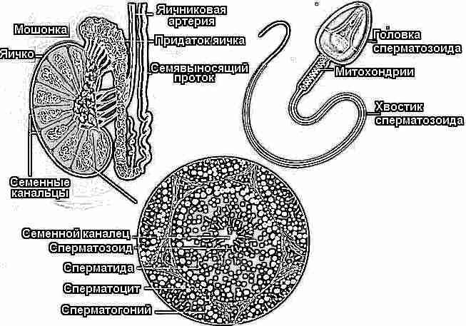 Почему женскому организму необходимы сперматозоиды
