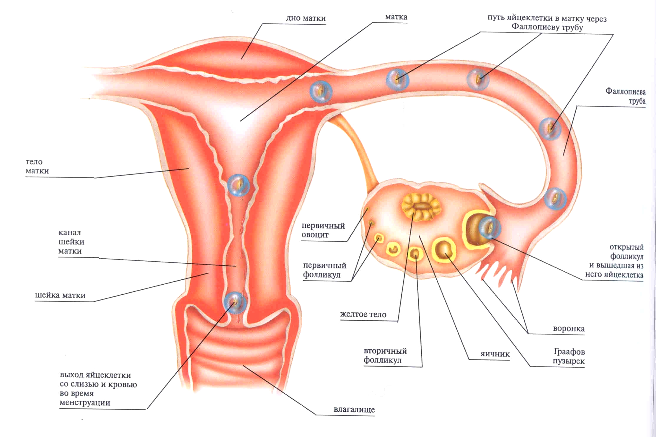 Фото матки яйцеклетки сперматозоида