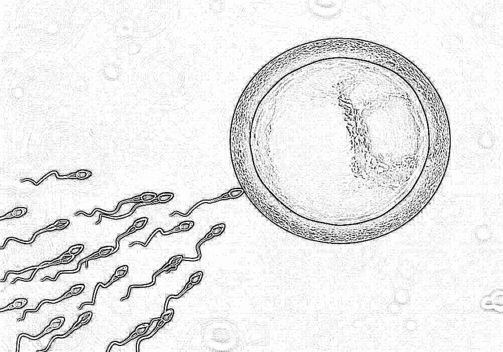 Сперматозоиды выделяются вместе со смазкой