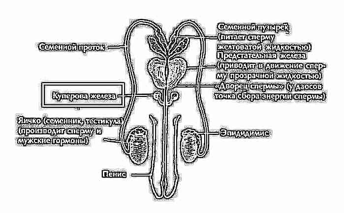 В смазке сперматозойды
