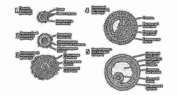 Раком сколько времени зреет сперма