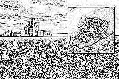 Рапсовое масло производят из семян рапса