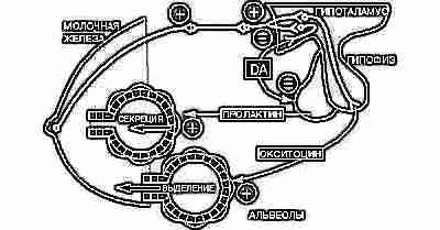 Пролактин, окситоцин
