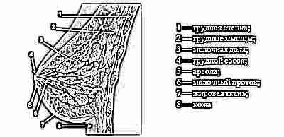Молочные железы - строение