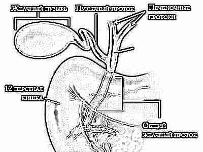 Желчь и желчный пузырь, желудок