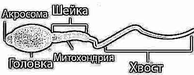 Спермограмма с оценкой морфологии 6