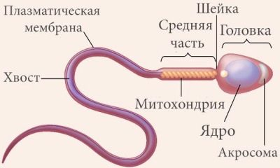 Как улучшить подвижность спермограммы