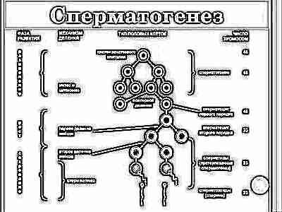Сколько активны сперматозоиды 4