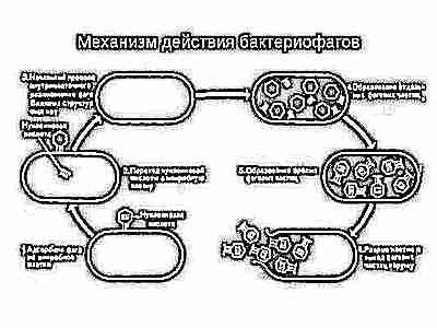 Как давать грудничку пиобактериофаг