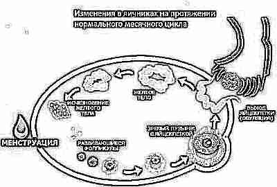 Где находится желтое тело при беременности 6
